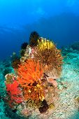 Colorful feather stars on a reef