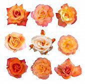 Rose collection, English roses