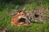 White-Tailed Deer (Odocoileus virginianus) Fawn