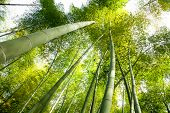 Green bamboo trees natural background