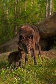 Black Wolf (Canis lupus) And Pup Stand Outside Den Site
