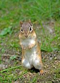 stock photo of chipmunks  - Closeup of a chipmunk as he is looking around after he came out of his hole - JPG