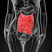 image of small-intestine  - 3d render of the female small intestine front view - JPG