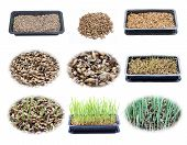 Set Of Growing Wheatgrass In Tray
