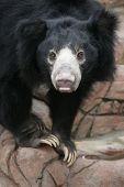 Sloth bear (Melursus ursinus), also known as Stickney bear.