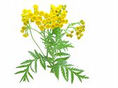 stock photo of tansy  - flowers of tansy isolated on a white background - JPG