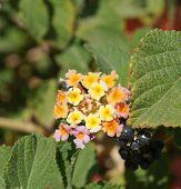 Lantana camara blossom