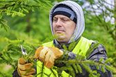 Man with scissors pruned spruce branches in forest