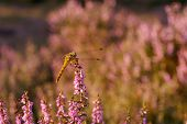 Dragonfly In Heathland By Sunset