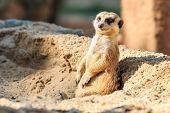 Meerkat In The Zoo