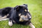 stock photo of cross-breeding  - Cross breed Dog lying on the Grass - JPG