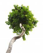 stock photo of tree trim  - Green trim tree isolated on white background - JPG