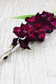 Beautiful Maroon Gladiolus