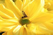 Chrysanthemum flower and insect
