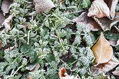Frozen Fallen Leaves On Grass