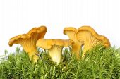 picture of chanterelle mushroom  - Edible chanterelle mushrooms in moss isolated on white background - JPG