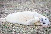 Grey Seals At Donna Nook