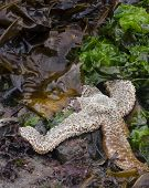 Sea Star Exposed By The Tide