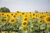 stock photo of sunflower  - sweet sunflower in field - JPG