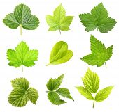Set of berry leaves isolated on white background