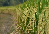 Harvest season of yellow rice ear in paddy field