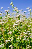 picture of buckwheat  - White flowers of buckwheat on the background of green leaves and blue sky - JPG