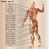 picture of triceps brachii  - Vector concept or conceptual 3D male or human anatomy - JPG