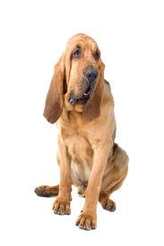 stock photo of bloodhound  - bloodhound  - JPG
