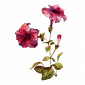 stock photo of petunia  - Beautiful vector illustration with nice petunia flowers - JPG