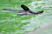 picture of lion  - Sea lion swimming in pool in Wroclaw - JPG