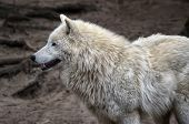 pic of white wolf  - wild white wolf in the spring zoo - JPG