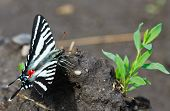 picture of woodstock  - Zebra Swallowtail butterfly sitting in mud Woodstock Virginia - JPG