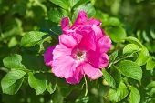 pic of dog-rose  - Dog roses in warm sunny summer day  - JPG
