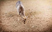 picture of male-domination  - Young male red deer stag in autumn fall forest - JPG
