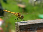 stock photo of predator  - A predator insect dragonfly sitting on wooden bar - JPG