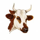 picture of calf cow  - cow vector illustration  hand drawn  painted watercolor - JPG