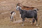 picture of goat horns  - Majorera goats  - JPG