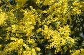 picture of mimosa  - Yellow flowers and green leaves of silver wattle blue wattle mimosa - JPG