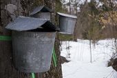 image of maple syrup  - Buckets hanging on trees collecting sap for maple syrup - JPG