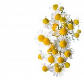 pic of chamomile  - Chamomiles isolated on white background - JPG
