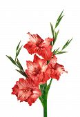 picture of gladiolus  - Beautiful red gladiolus isolated on the white - JPG