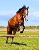 picture of bay horse  - Bay horse jumping over a hurdle riderless - JPG