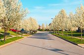 stock photo of tree lined street  - Street in an american city with spring blossom trees - JPG