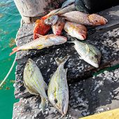 picture of catch fish  - Catched fish on wooden pier close up - JPG
