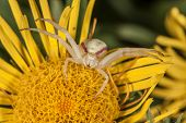 stock photo of crab  - Crab spider on yellow flower is ready for attack - JPG