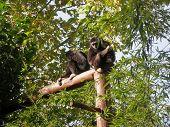 White-Handed Gibbon 1