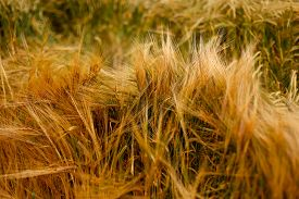 image of cross-hatch  - Soft Wheat/Barley crop plants growing in English countryside during Summer. Beautiful warm evening light showing cross hatch patterns texture fine detail & rich colours of brown green & yellow ** Note: Shallow depth of field - JPG