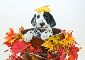 image of headings  - Silly Dalmatain puppy sitting in a bucket with fall leaves around him with a fall leaf that looks like it fell on his head on a white background - JPG