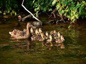 Duck & Ducklings