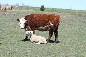 foto of hereford  - Hereford cow looking at a Ram - JPG